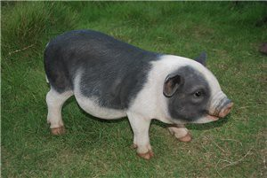 POT BELLIED PIG STANDING